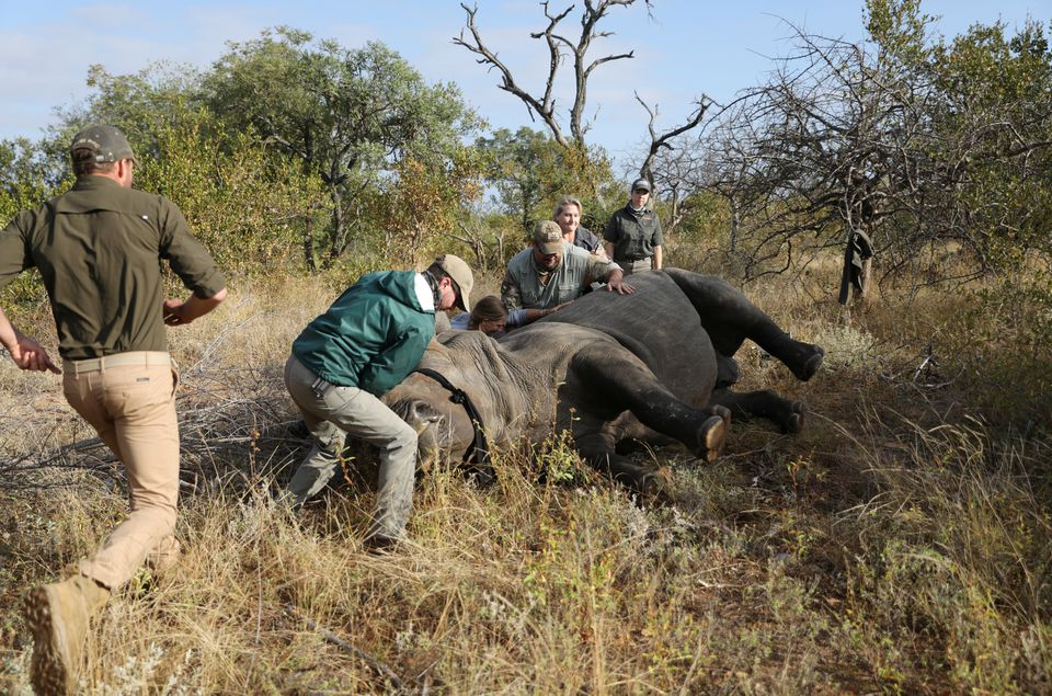 Veterinarians attend to a tranquillised rhino before it is dehorned, amid mounting fears of a rebound in rhino poaching, as the coronavirus disease (COVID-19) travel restrictions ease, at the Balule Nature Reserve in Hoedspruit, Limpopo province, South Africa April 26, 2021. REUTERS/Siphiwe Sibeko