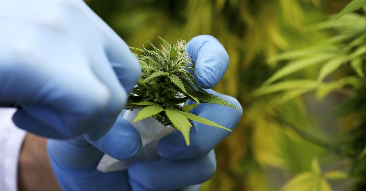 A production assistant collects a Cannabis plant in a state-owned agricultural farm in Rovigo, about 60 km (40 miles) from Venice, September 22, 2014.