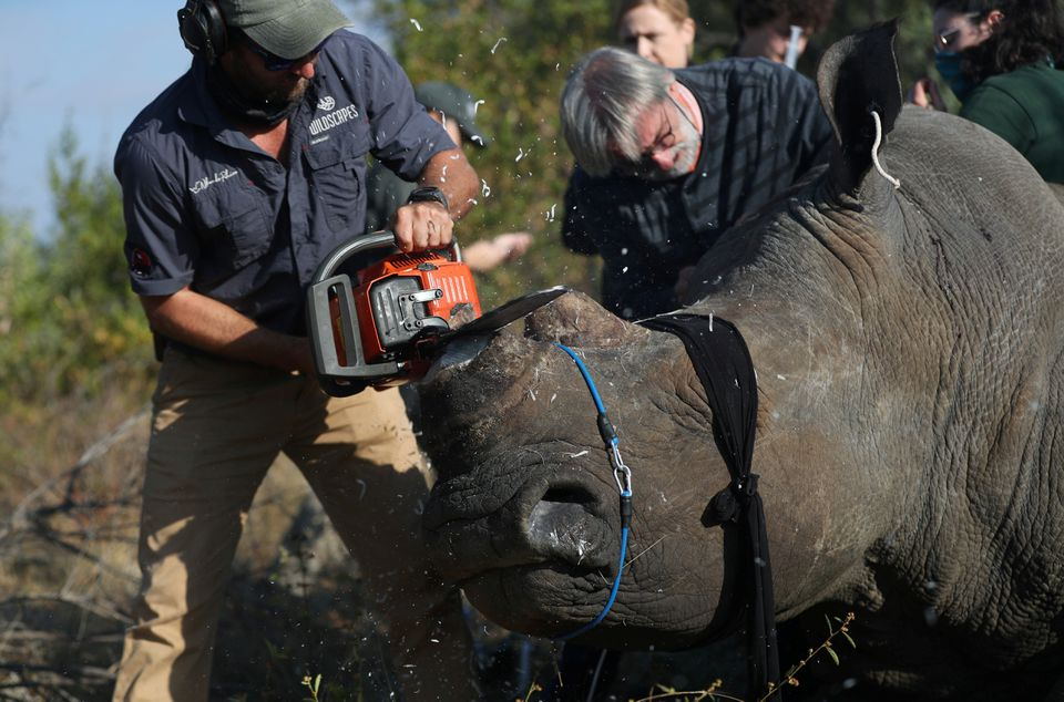 A rhino is dehorned amid mounting fears of a rebound in rhino poaching, as the coronavirus disease (COVID-19) travel restrictions ease, at the Balule Nature Reserve in Hoedspruit, Limpopo province, South Africa April 26, 2021. REUTERS/Siphiwe Sibeko
