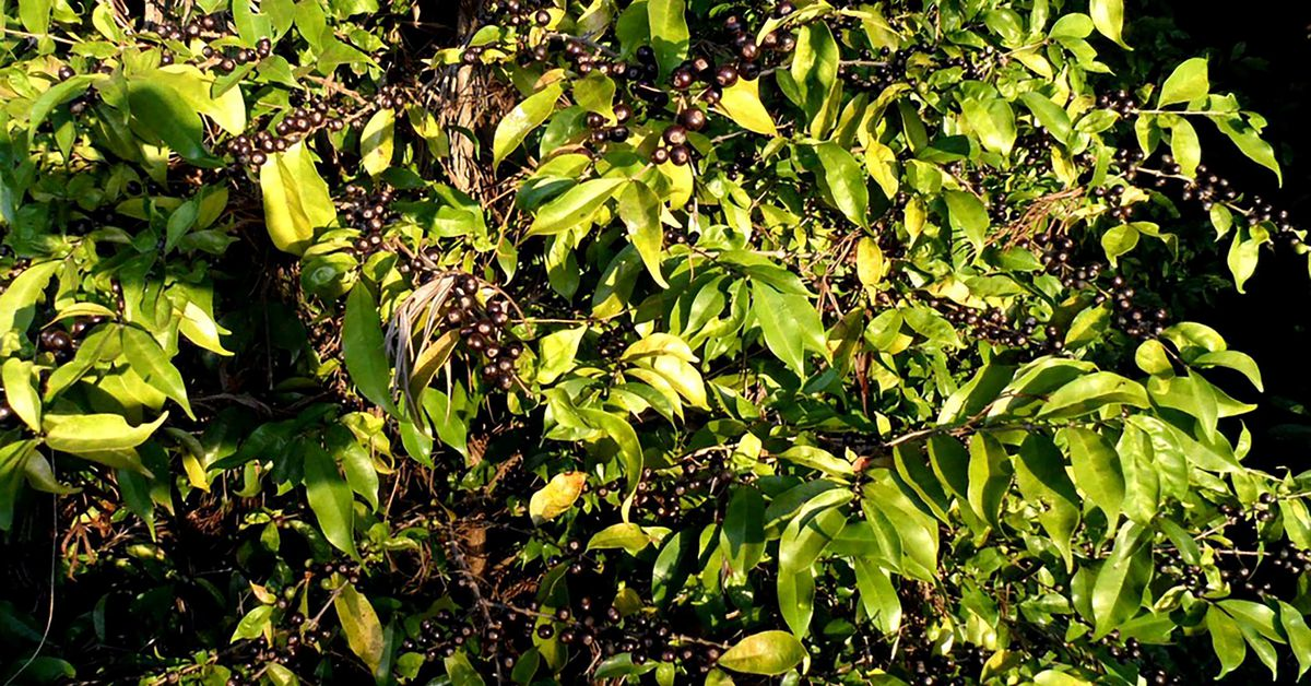 A forgotten species rediscovered creates promise for the future of coffee