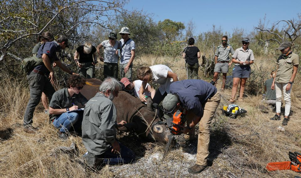 Veterinarians dehorn a tranquillised rhino amid mounting fears of a rebound in rhino poaching, as the coronavirus disease (COVID-19) travel restrictions ease, at the Balule Nature Reserve in Hoedspruit, Limpopo province, South Africa April 26, 2021. REUTERS/Siphiwe Sibeko