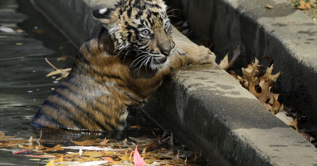 Lions, tigers recovering after COVID infection at Washington