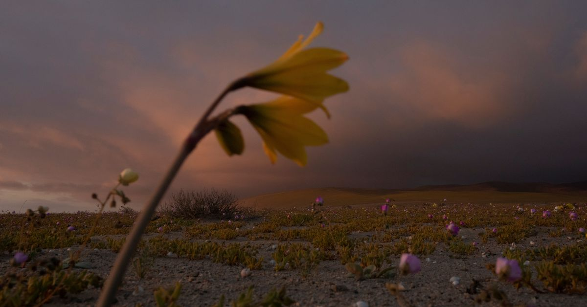 It's bloom time in Chile's 'flowering desert', despite drought