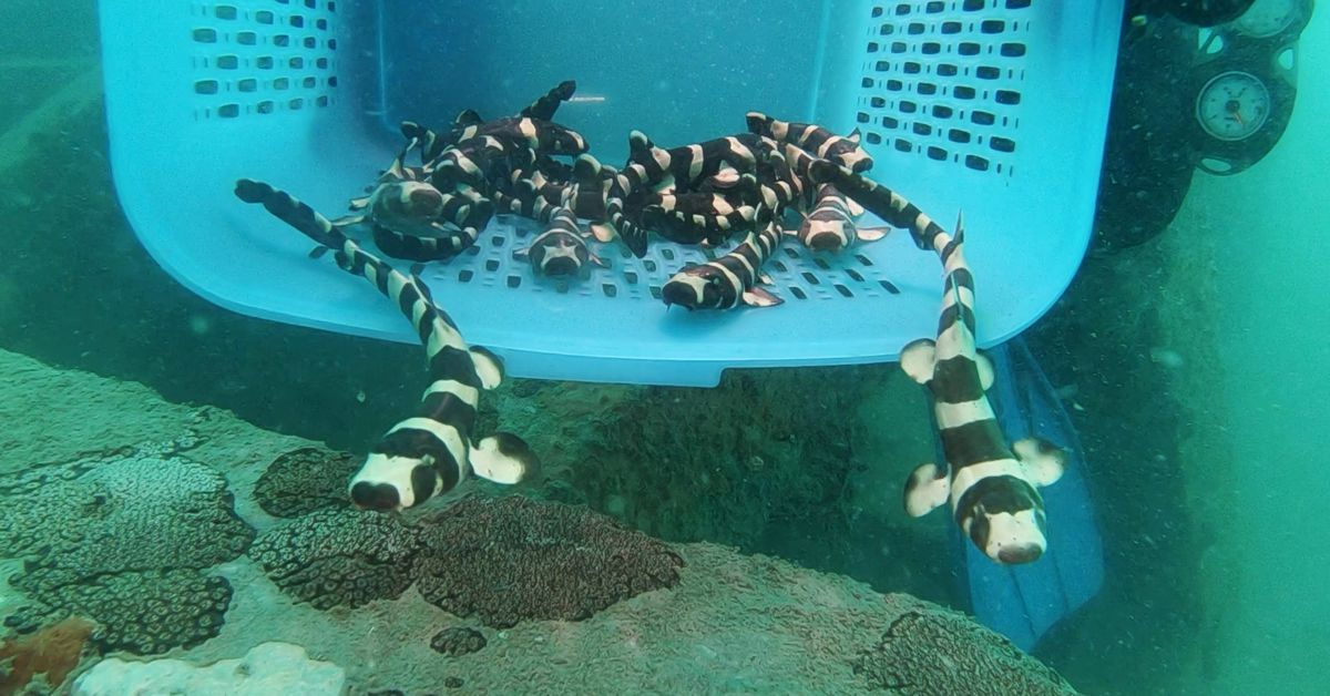 Endangered bamboo sharks given helping hand in Gulf of Thailand
