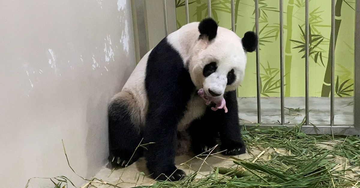 SINGAPORE, Aug 16 (Reuters) - A Chinese giant panda at a Singapore wildlife park has given birth to a cub - the first born in the Southeast Asian coun